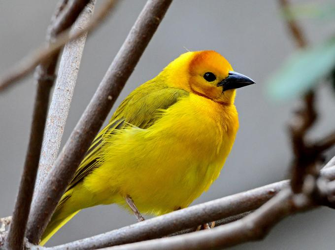 Golden Weaver (1)