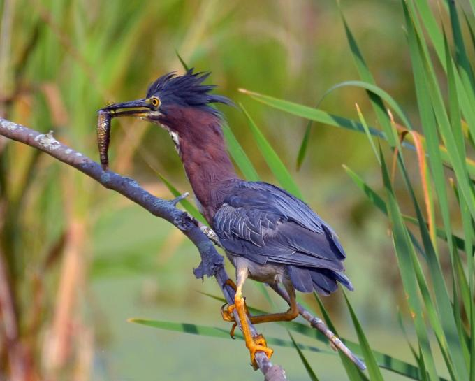 Green Heron Catches Lunch (1)
