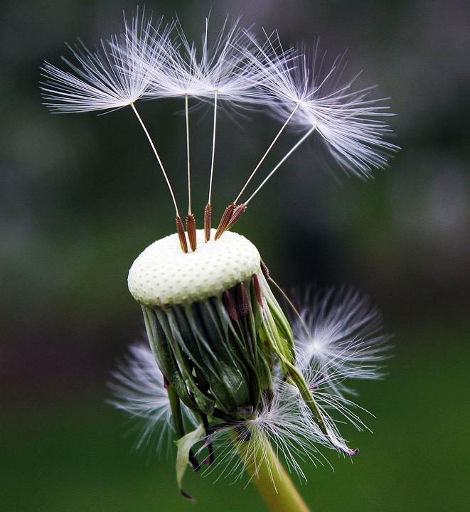dandelion-1392492_960_720