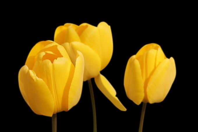 tulips-1364024_960_720