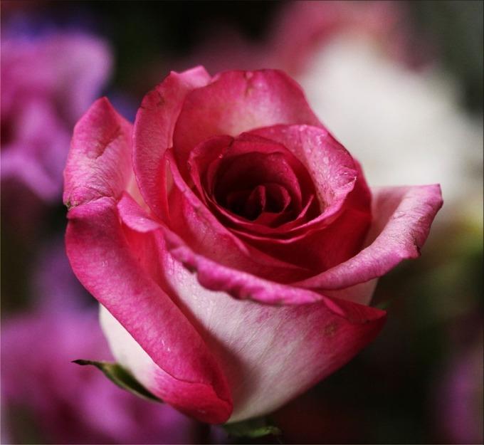 pink-rose-14798_960_720