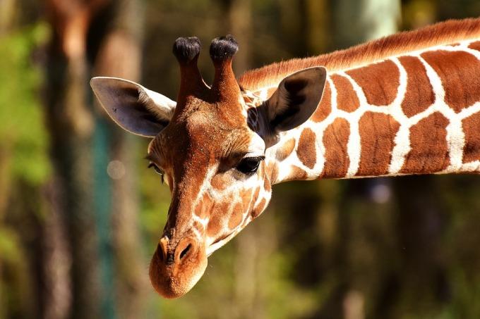 giraffe-2222908_960_720.jpg