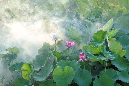 lotus-2528453__340