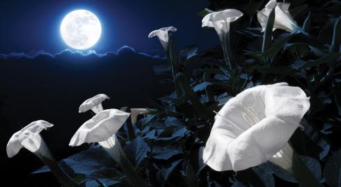 moonflowers-Haiku_Friday-The Writer Next Door-Vashti Quiroz Vega-Vashti Q-Moon_garden-Poetry-tanka-Alabama_Gardens