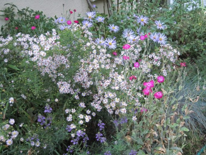 """Asters """"Pink Cloud"""" and """"Monch"""" with last few Rose Campion and Linaria flowers"""