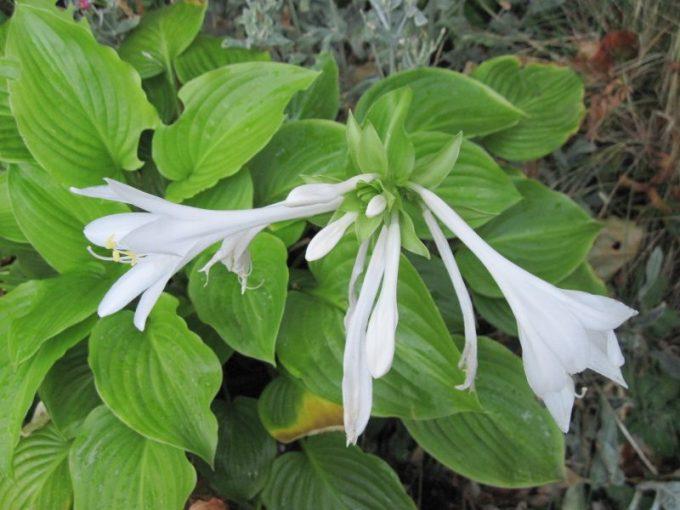 Hosta plantaginea flowers and foliage