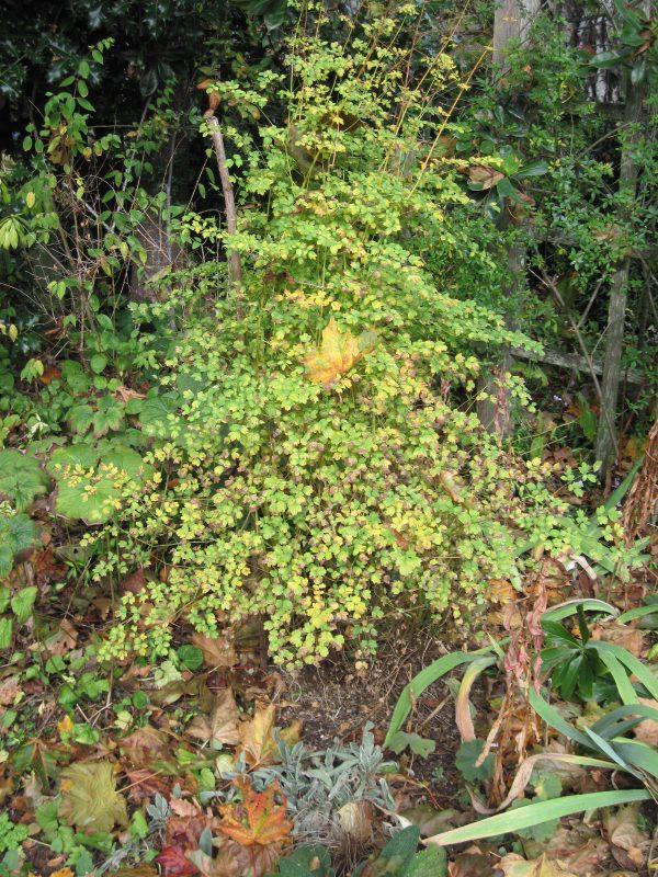 Thalictrum foliage turning yellow