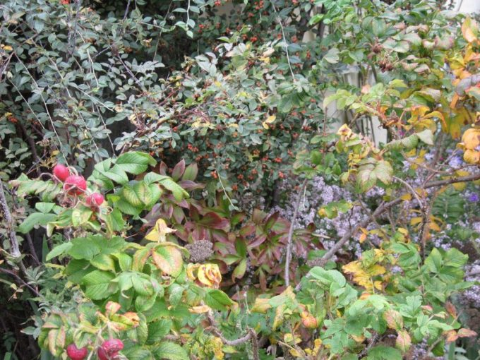 """Rosa rugosa foliage and hips with cotoneaster foliage and aster """"Pink Cloud"""" in background"""